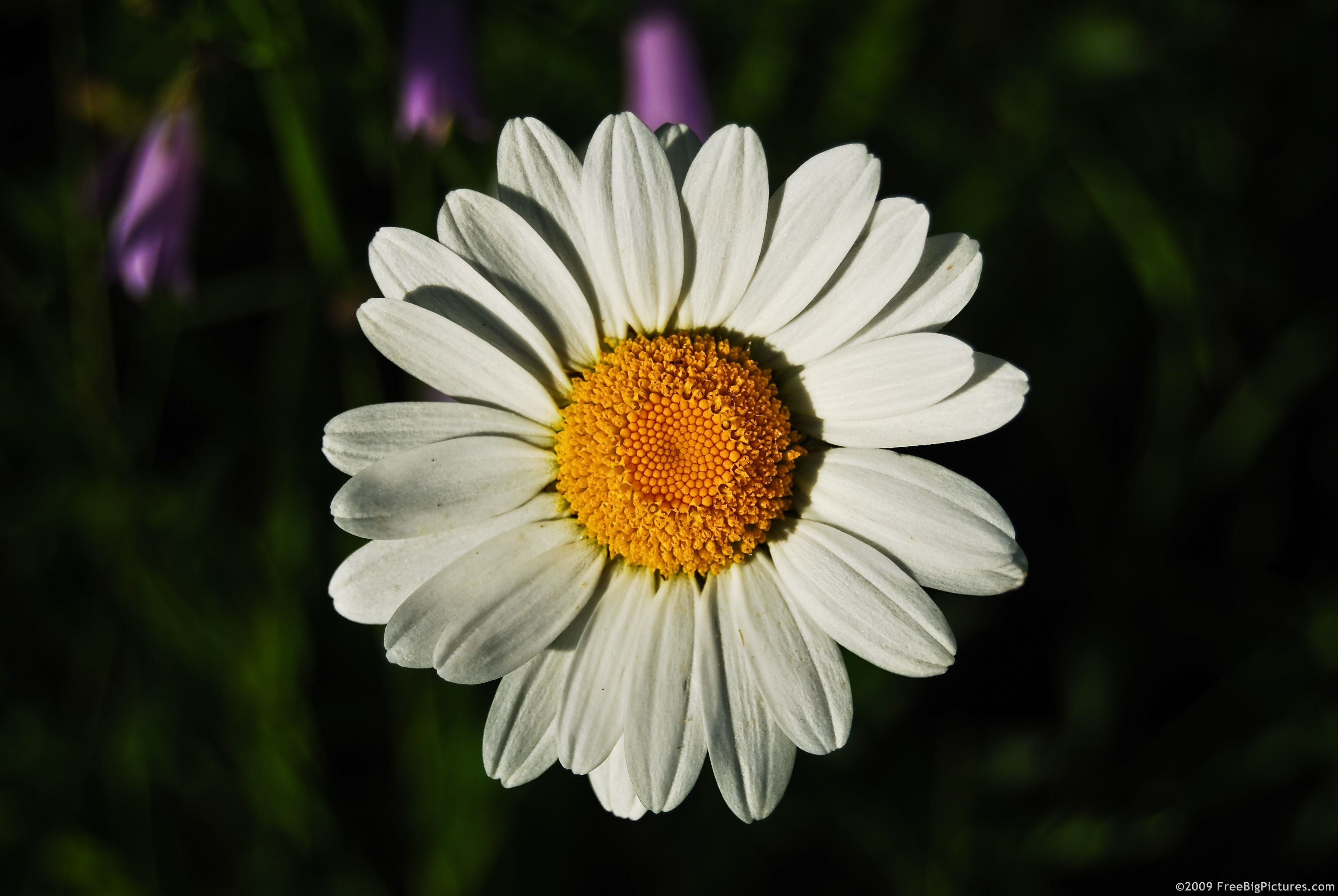 Its a daisy i like daisys because is the name of my main its a daisy i like daisys because is the name of my main character izmirmasajfo