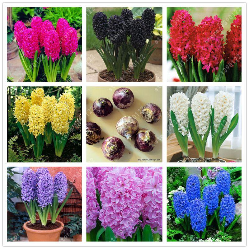 Vero giacinto lampadina, giacinto fiori, bonsai bulbi di fiori così Fragrante Per Sempre Manca piante Idroponiche per la casa garden-1 lampadina/bag