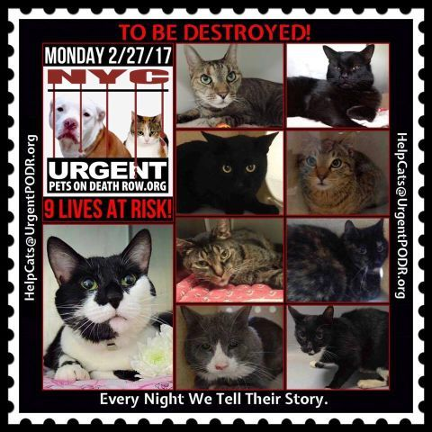 "TO BE DESTROYED 02/27/17 - - Info     Please share View tonight's list here: http://nyccats.urgentpodr.org/tbd-cats-page/.  The shelter closes at 8pm. Go to the ACC website( http:/www.nycacc.org/PublicAtRisk.htm) ASAP to adopt a PUBLIC LIST cat (noted with a ""P"" on their profile) and/or … CLICK HERE FOR ADDITIONAL…Please...-  Click for info & Current Status: http://nyccats.urgentpodr.org/to-be-destroyed-020417/"