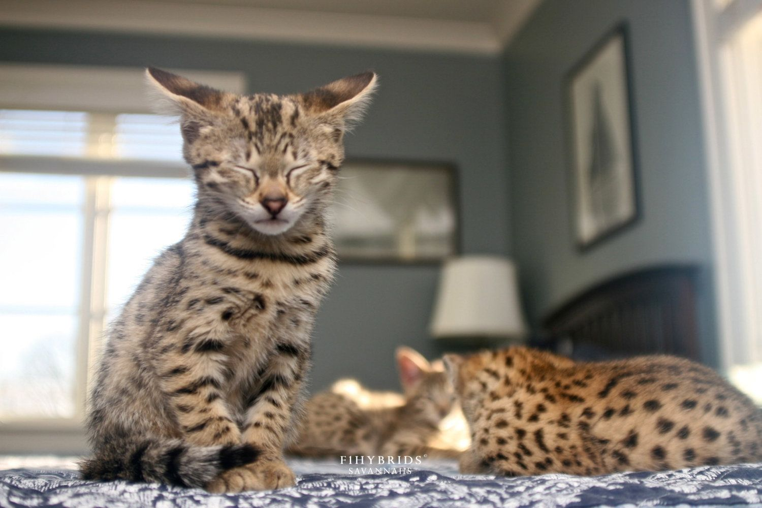 10 Best F1 Savannah Cat Price Wallpaper in 2020 Savannah
