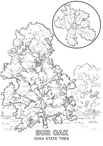 Iowa State Tree Coloring Page Tree Coloring Page Coloring Pages