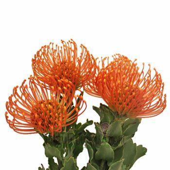 Ohhhhhh protea orange pin cushion flower fiftyflowers 20 ohhhhhh protea orange pin cushion flower fiftyflowers 20 stems for 109 mightylinksfo