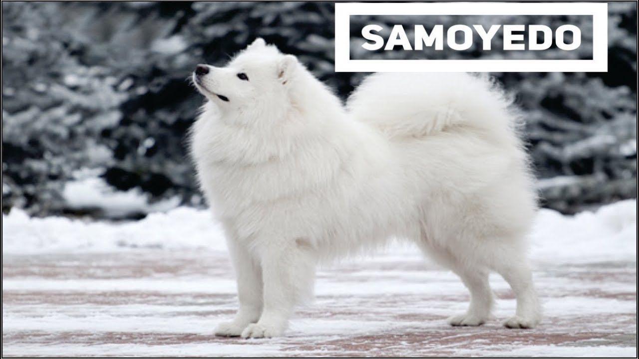 Samoyedo Anjing