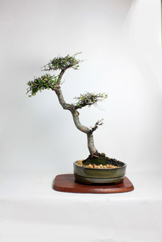Pin On Loofbomen Bonsai 2