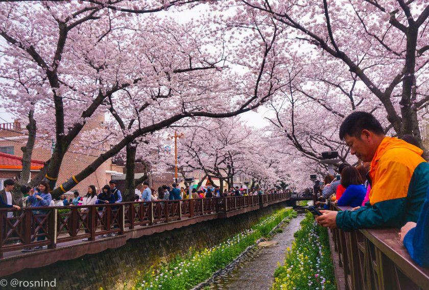 Gambar Bunga Sakura Di Korea Selatan Jinhae Gunhangje Festival Bunga Sakura Terbesar Di Korea 7 Waktu Terbaik Untuk Melihat Bunga Sakura Gambar Bunga Bunga