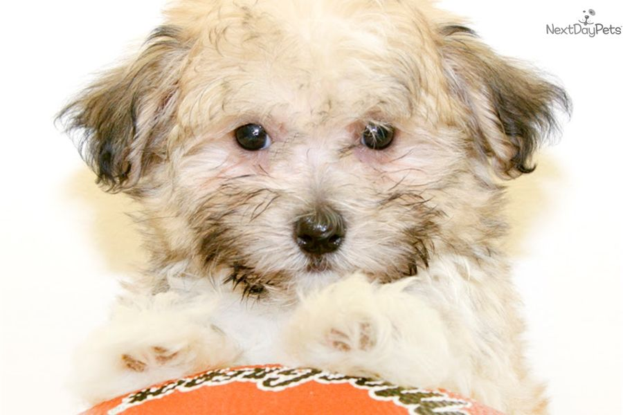 Havanese puppy for sale near Columbus, Ohio 26147b70