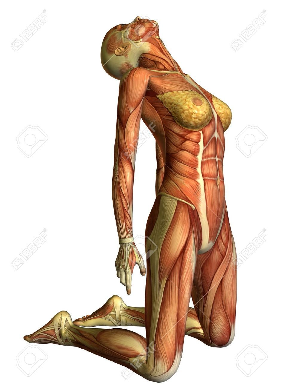back muscle anatomy woman - Google Search | MUSCLES AND ANATOMY ...