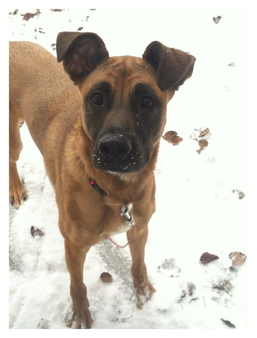 The Surefire Way To Find Dog Ownership Success Boxer Shepherd Mix Boxer Mix Puppies Dogs