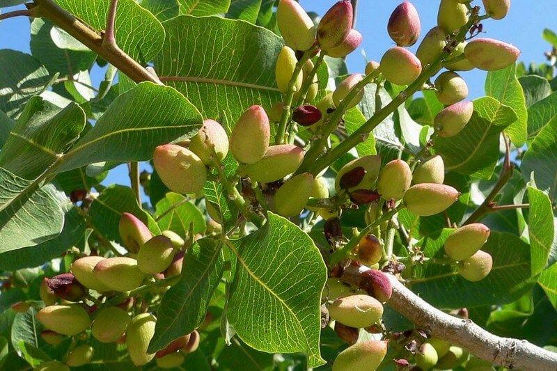 دراسة تأثير الظروف المناخية على إنتاجية الفستق الحلبي Pistacia Vera في حلب وادلب Agriculture Grapes Fruit