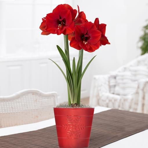 Snowflake Gift Bulb Gift Kit This Shiny Red Metal Pot Is Adorned Wtih An Embossed Snowflake Makes A Great Hostess Or Amaryllis Bulb Flowers Amaryllis Bulbs