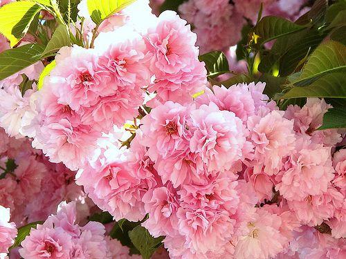 Kwanzan Flowering Cherry Tree A Photo On Flickriver Flowering Cherry Tree Trees To Plant Flowering Trees