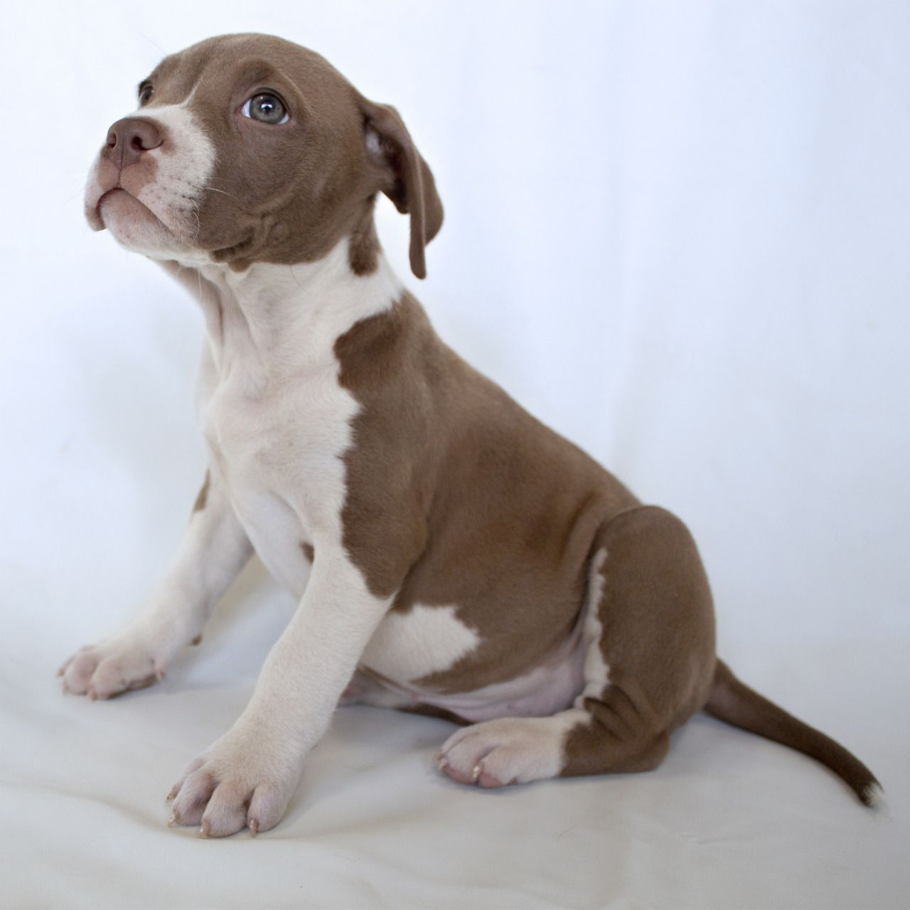 For The Love Of Pit Bulls Pitbull Lab Mix Lab Pitbull Mix Puppy