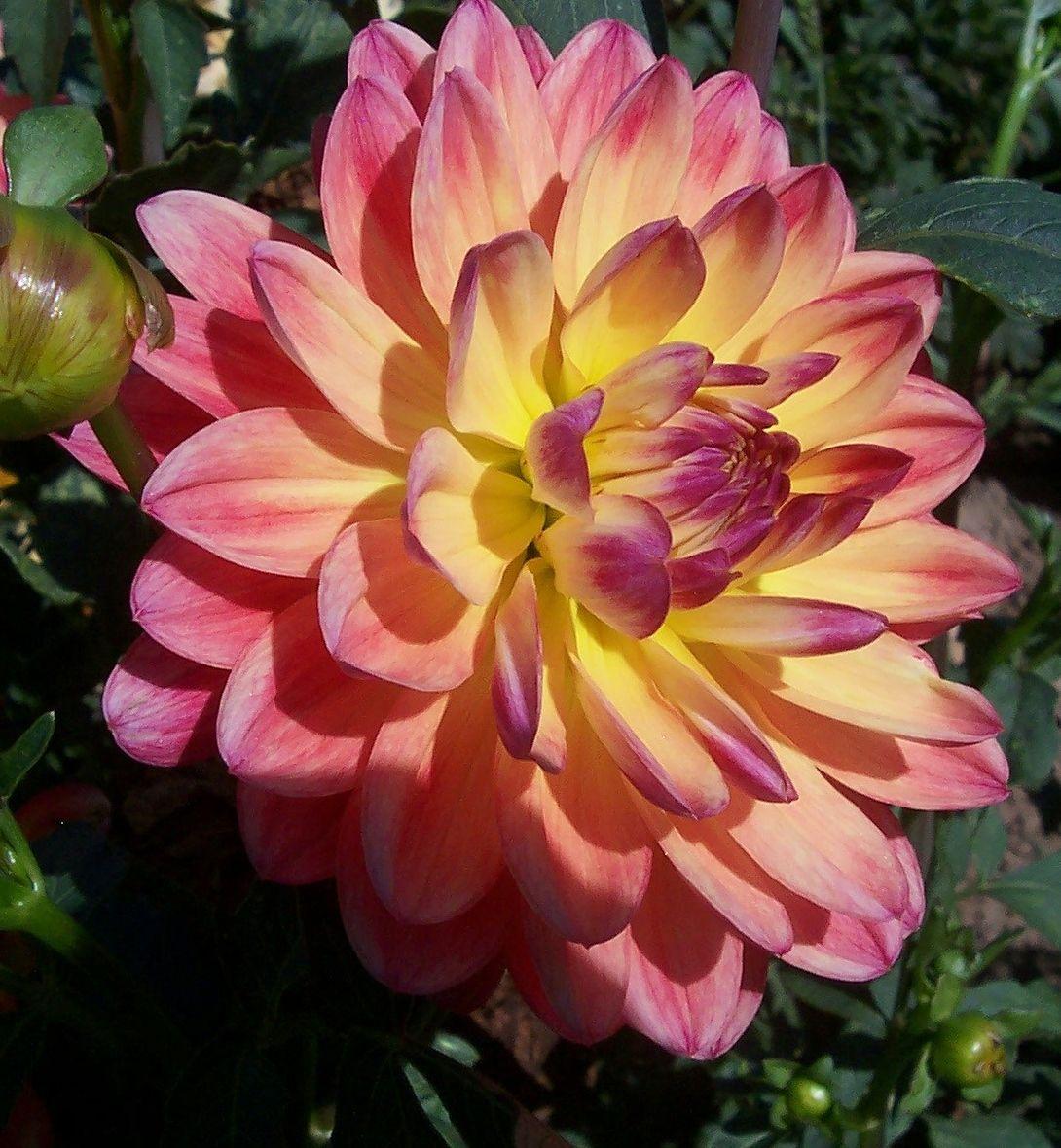 Canoz anne dahlias pinterest dahlia flowers and gardens canoz anne izmirmasajfo