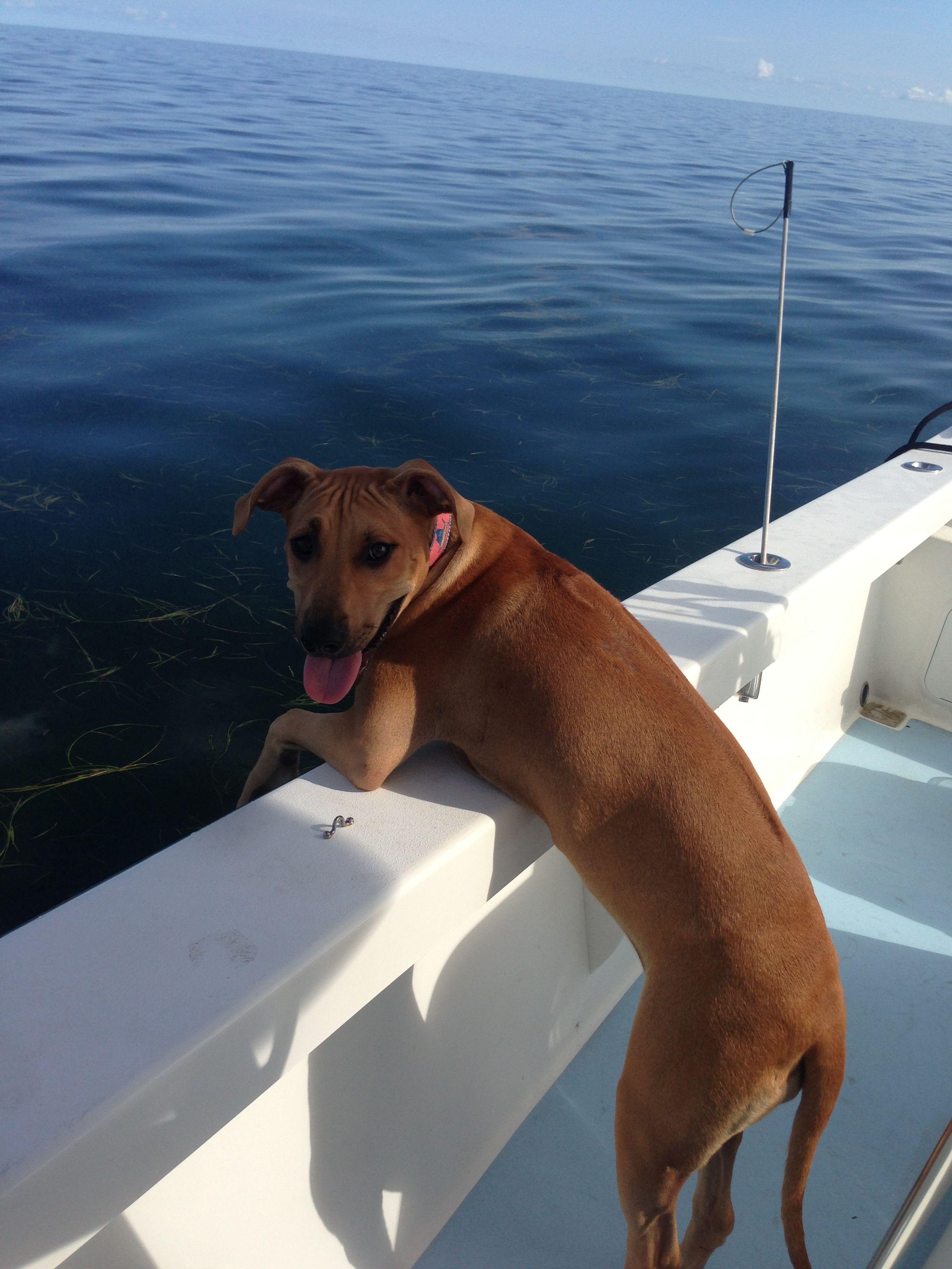 Rhodesian Ridge Back Loving A Boat Day Beautiful Dogs Rhodesian Ridgeback Best Dogs