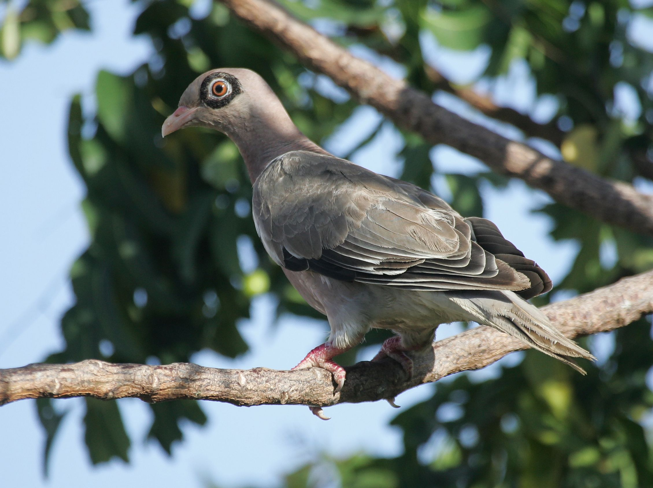 Curacao Dutch Antilles Bare Eyed Pigeon Looking Away Pigeon Beautiful Birds How To Attract Birds