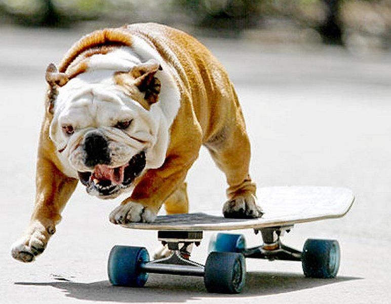 Funny Dog Rides A Skateboard Funny Pictures With Images Dogs