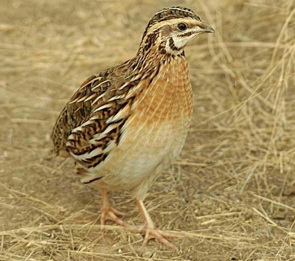 quail farming business plan modern farming methods raising