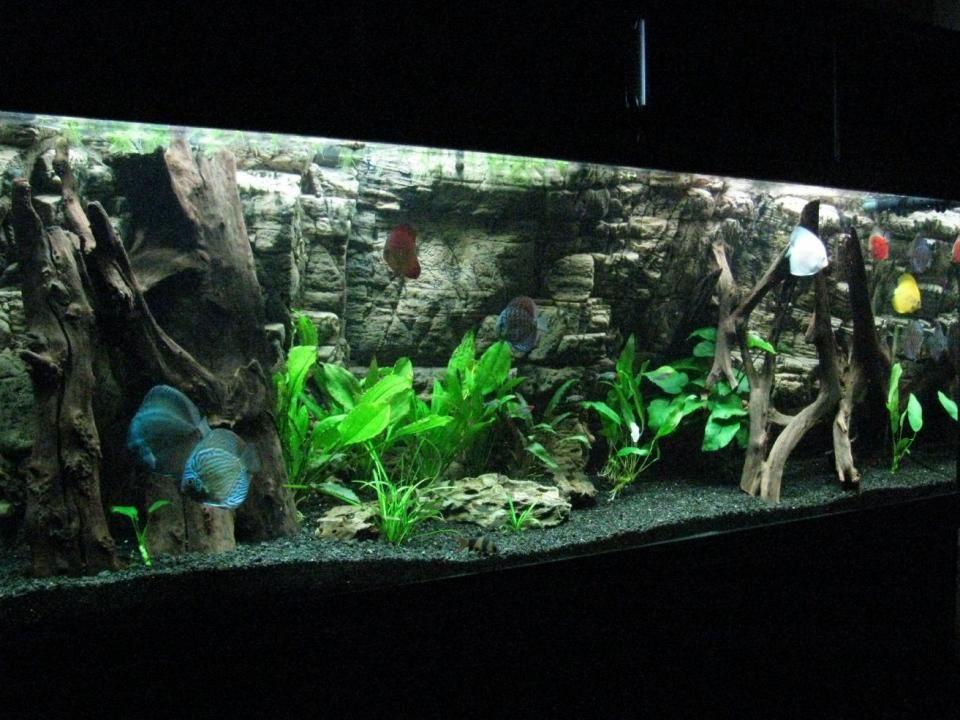 Beautiful fish discus tanks Google Search