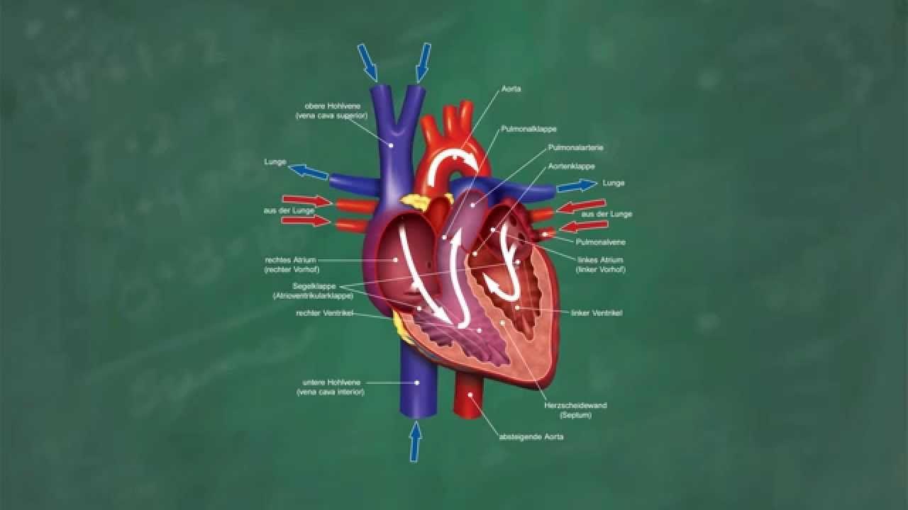 Herz & Blutkreislauf verständlich erklärt! | Medizinisches ..Spezial ...