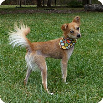 Pictures Of Lucy A Chinese Crested Pomeranian Mix For Adoption In