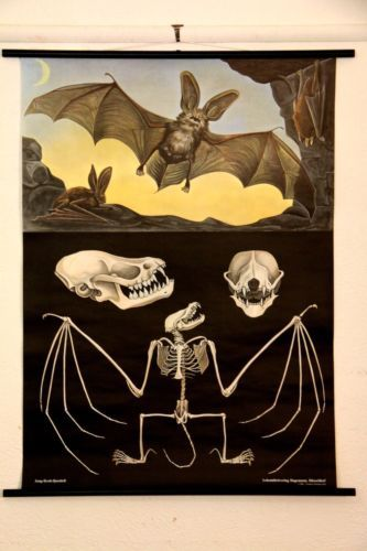 Bat Longeared Original Vintage Style Canvas Print Poster Chart Midcentmd German | eBay @Lindsey Grande Grande Schuyler