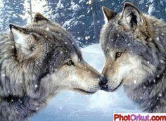 Orkut E Hi5 Animais Lobos Neve Montanhas Imagem De Lobos Na