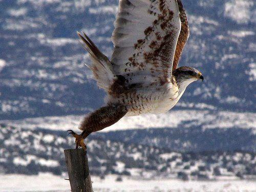 Ferruginous Hawk!  From HawkWatch International.