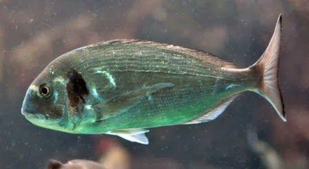 Enjoy The Radioactive Fish: Tests Show Fukushima Fish Are Up To 124X Above Safe Level ~ RiseEarth
