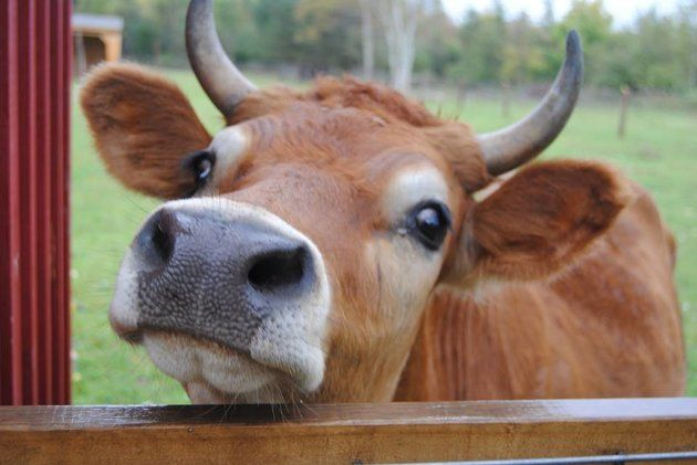 Calf Saved From Becoming Veal Is Now A Gentle Giant