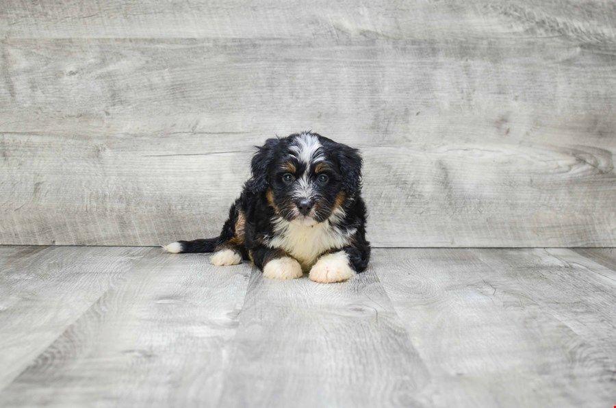 Mini Bernedoodle Puppies For Sale Ohio Bernese Mini Poodle Pups Online Mini Bernedoodle Bernedoodle Puppy Bernedoodle