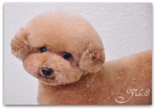Toelettatura barboncino ~ Repinned japanese poodle grooming style. grooming poodle