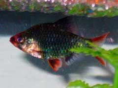 Tiger Barb Care Size Life Span Tank Mates Breeding Fish Tank Barbs Fish