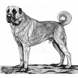 68 En Iyi Kangal Art Goruntusu Drawing Kangal Kopegi Ve Cizim