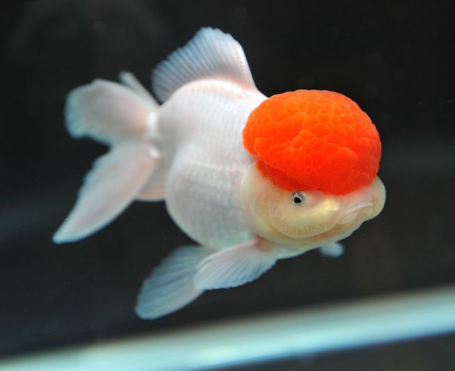 With Its Clown White Body And Puffy Red Orange Afro You Might Assume This Oranda Goldfish Goldfish Goldfish Tank