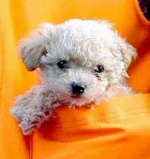 d4bacdb459a Adorable Miniature Pocket Poodle Puppy
