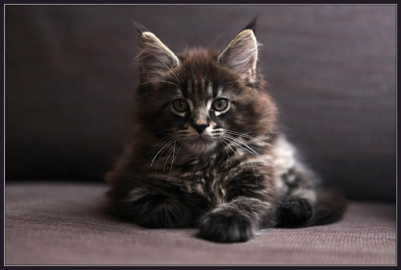 Maine Coon Kitten | Cattery Addiena | The Netherlands ...