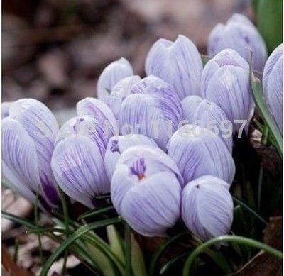 Free shipping pansy  tulip bulbs 5blubs flower bulbs sementes de flores casa e jardim garden bonsai tree Home &garden gift