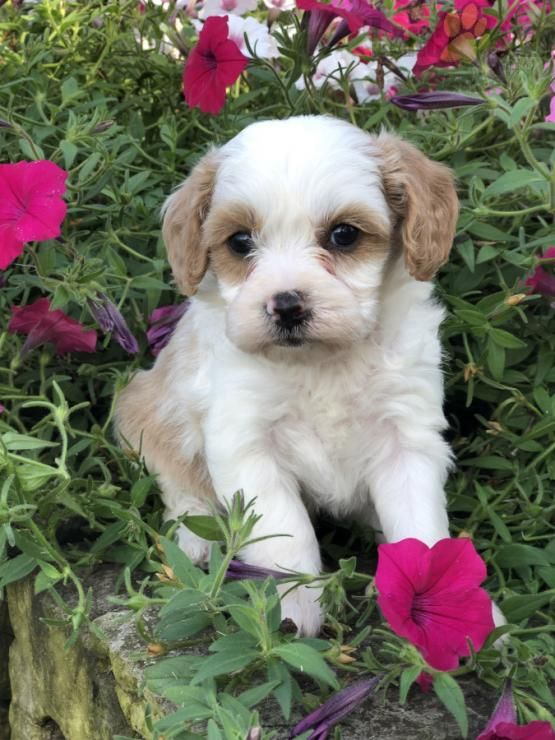 Katie Cavapoo Puppy for Sale in Winchester, OH