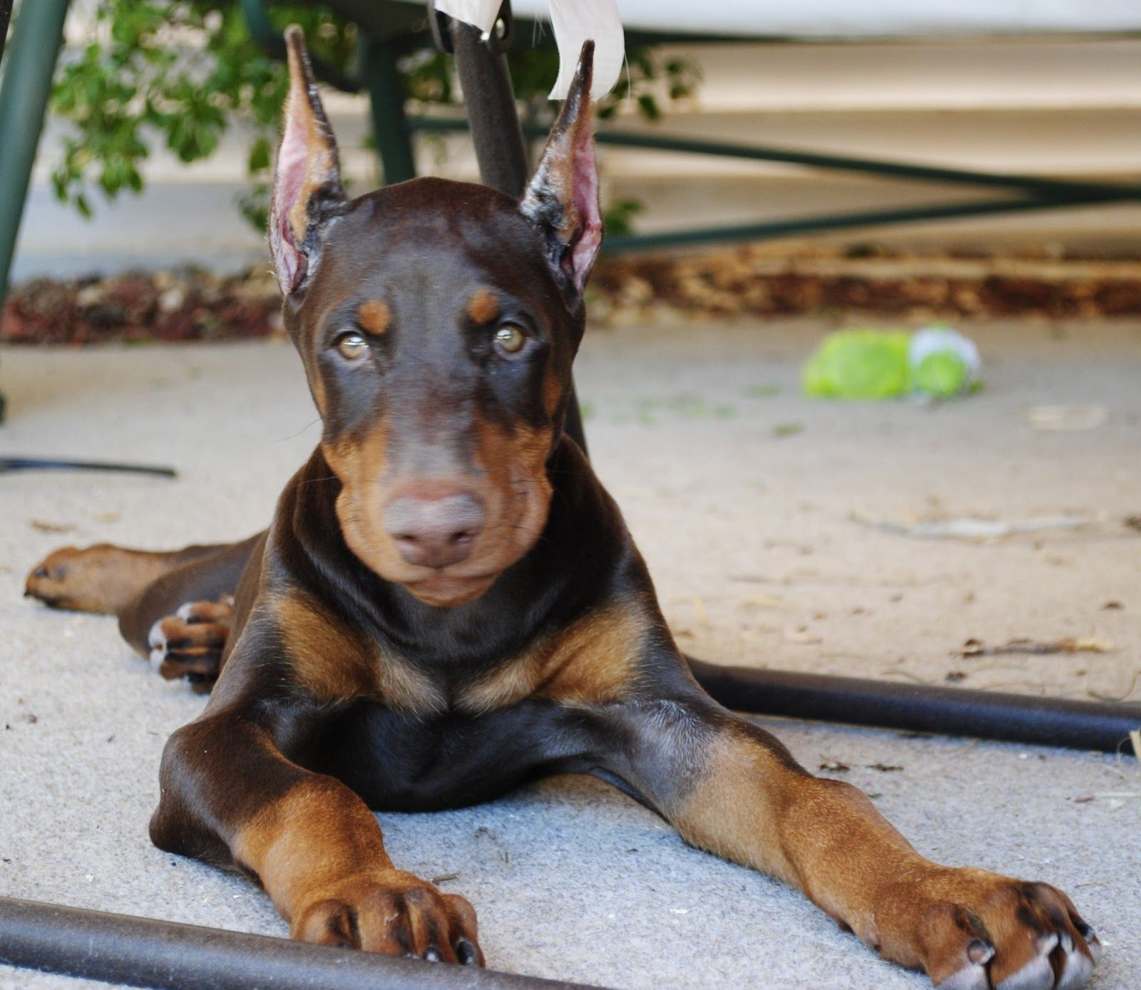 Pictures Doberman Pinscher Puppy Loyal Dog Breeds Doberman
