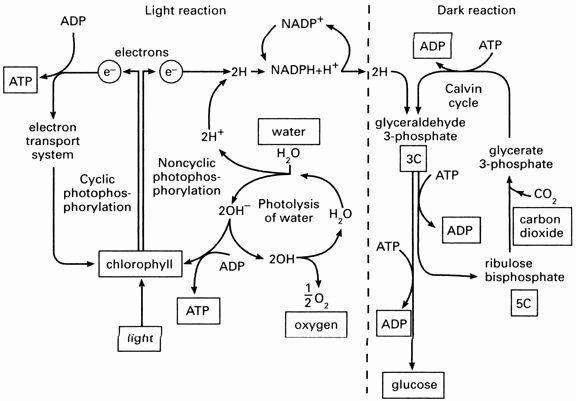 Photosynthesis Diagram Worksheet Answer Key - worksheet
