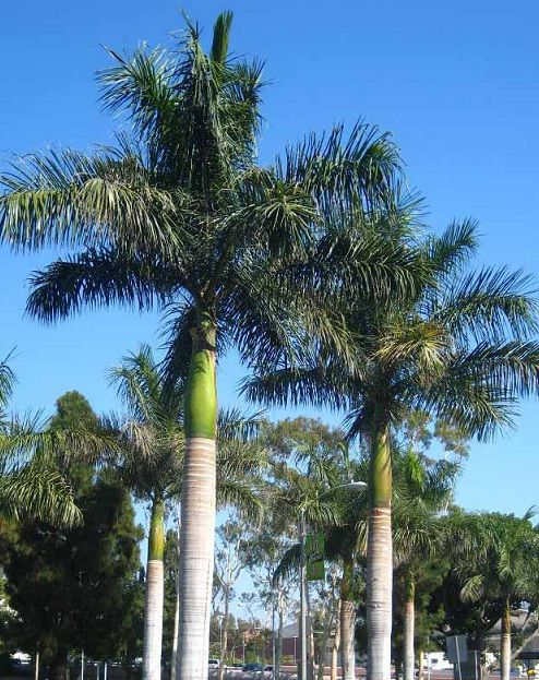 Types Of Palm Trees Royal Palm Tree Evergreen And