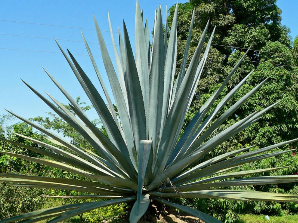 Blue Agave Tequila Plant Agave tequilana (Blue ...