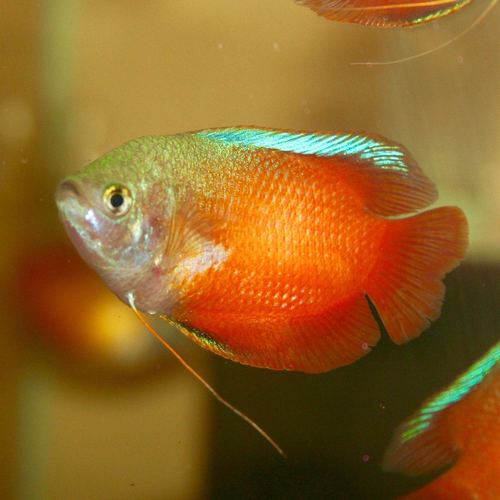 Honey Red Gourami Dwarf Aquarium Fish Fish Tank Tropical Fish