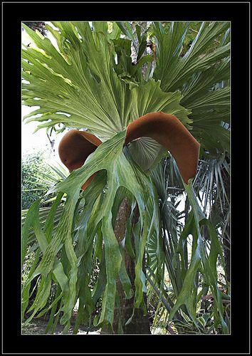 Love Staghorn Ferns!!!