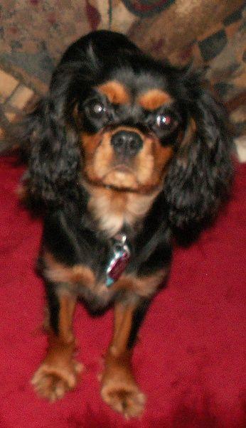 Beckett All Grown Up Cavalier King Charles Spaniel Dog Breeder