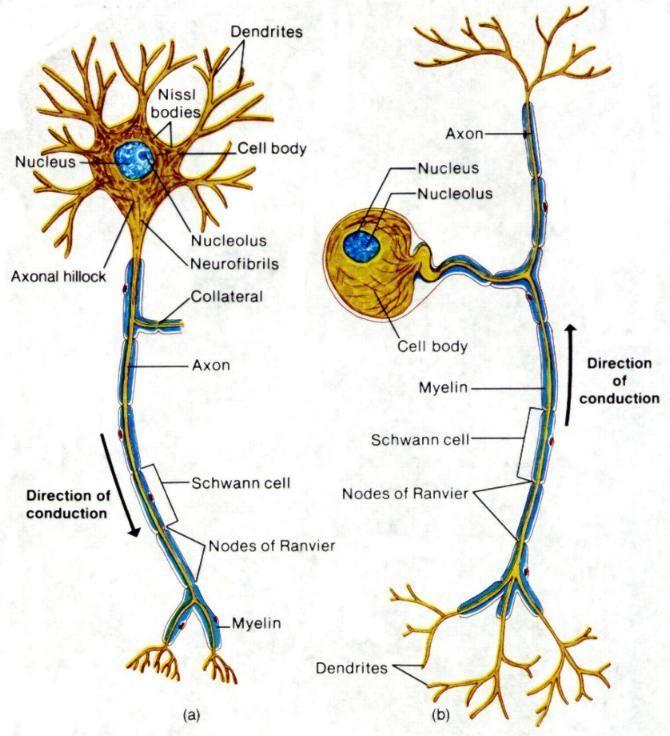 Sensory Neurons Google Search Anatomy Pinterest