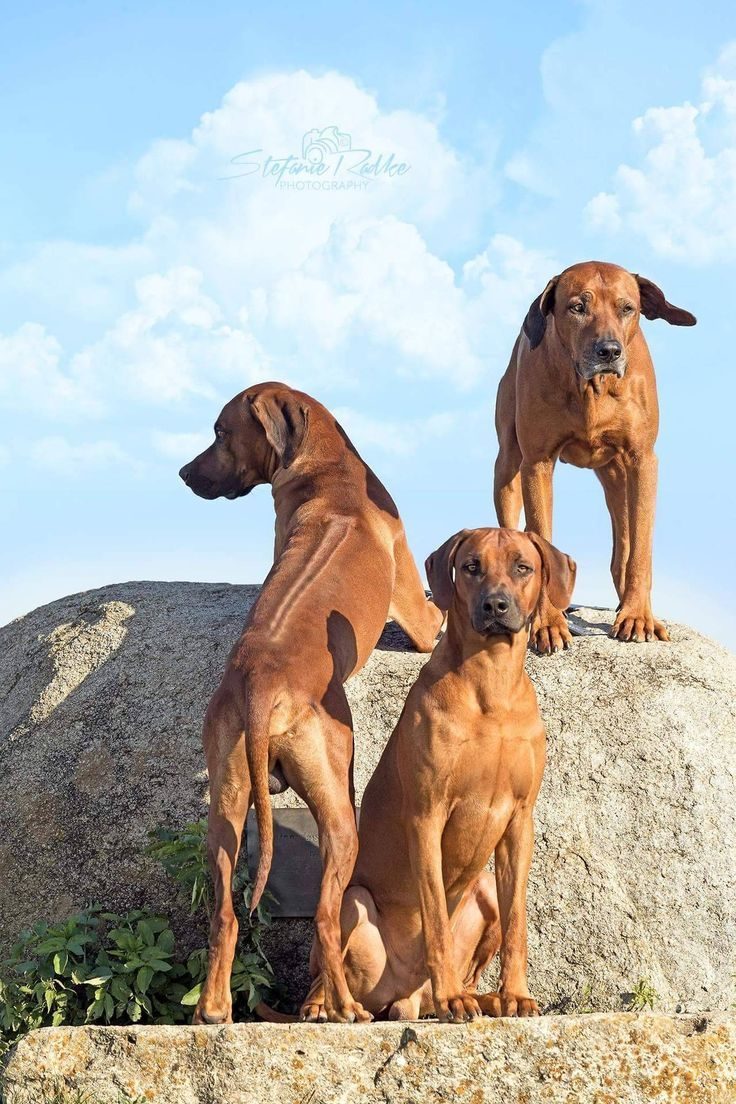 This Is A Photo Study Of The Rhodesian Ridgeback Not All Photos Are Mine But Were Found On The Rhodesian Ridgeback Dog Rhodesian Ridgeback Puppies Dogs