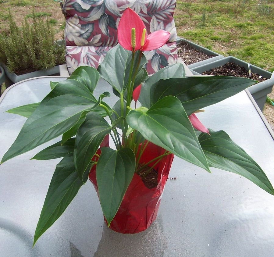 Anthurium   Flamingo Flower Is Easy Care And Flowers Indoors In Low Light.   Http