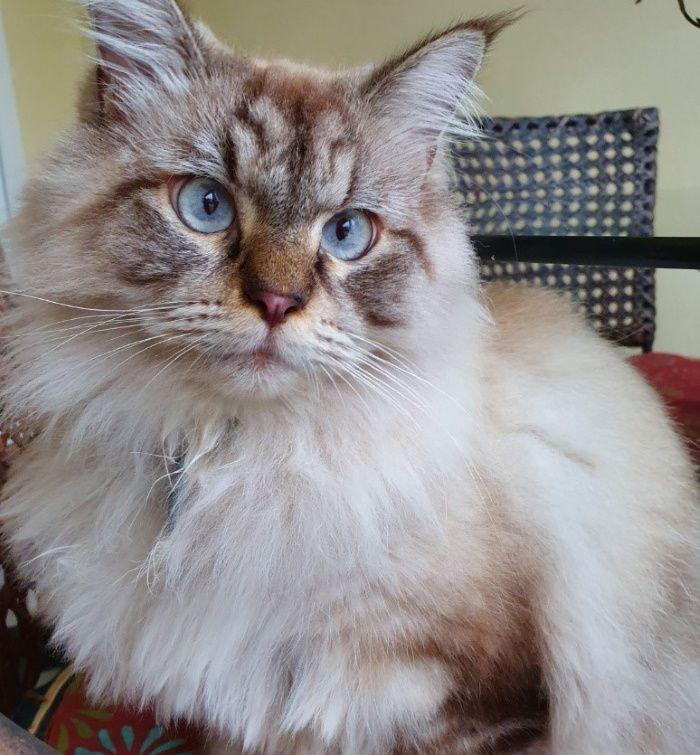 Have You Seen Gizmo A Missing Ragdoll Cat Lost At Telok Kurau In 2020 Ragdoll Cat Colors Cute Baby Animals Ragdoll Cat