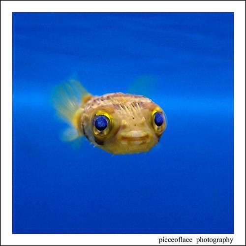 Pufferloveeeee Salzwasserfische Gefullter Fisch Tiere